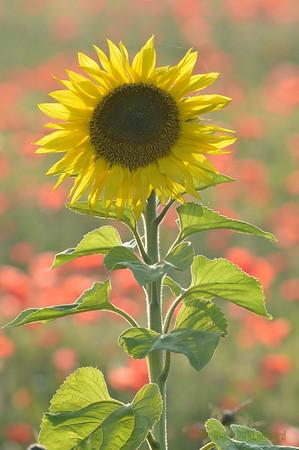 Sunflower_Apple_01112016 (100)