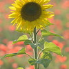 Sunflower_Apple_01112016 (100)