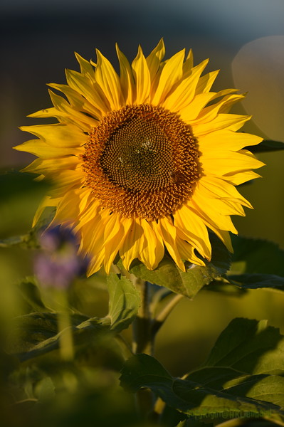 Sunflower_Apple_30102016 (49)