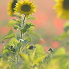 Sunflower_Apple_01112016 (104)