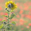 Sunflower_Apple_01112016 (89)