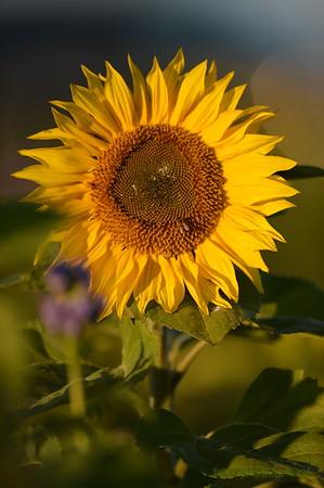 Sunflower_Apple_30102016 (55)