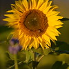 Sunflower_Apple_30102016 (55)