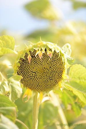 Sun_Flower_Echichens_01092013_0338