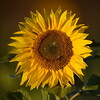 Sunflower_Apple_30102016 (44)