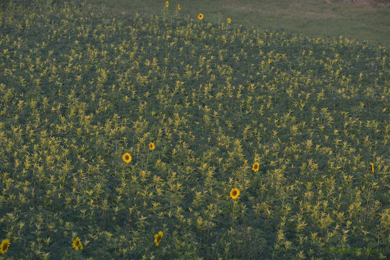 Sunflower_Apple_01112016 (6)