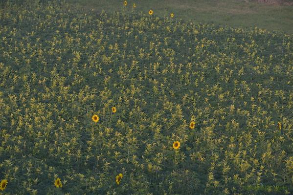 Sunflower_Apple_01112016 (6)