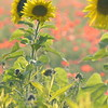 Sunflower_Apple_01112016 (103)