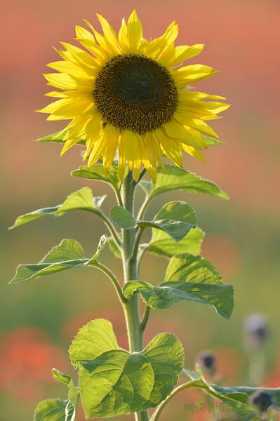 Sunflower_Apple_01112016 (76)