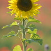Sunflower_Apple_01112016 (76)