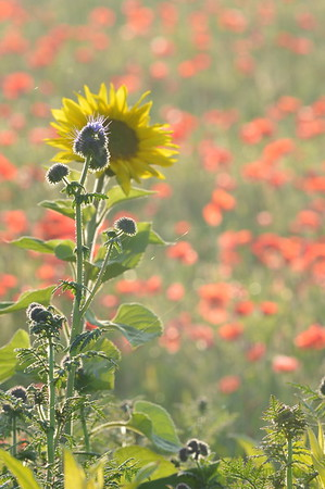 Sunflower_Apple_01112016 (87)