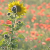 Sunflower_Apple_01112016 (87)