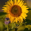 Sunflower_Apple_30102016 (63)