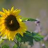 SunflowerFiled_Echichens_0018