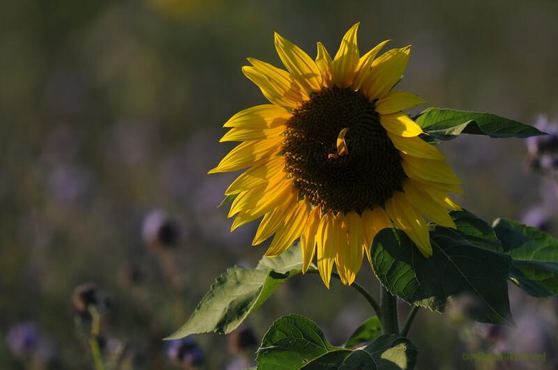 SunflowerFiled_Echichens_0016