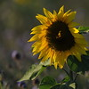 SunflowerFiled_Echichens_0016