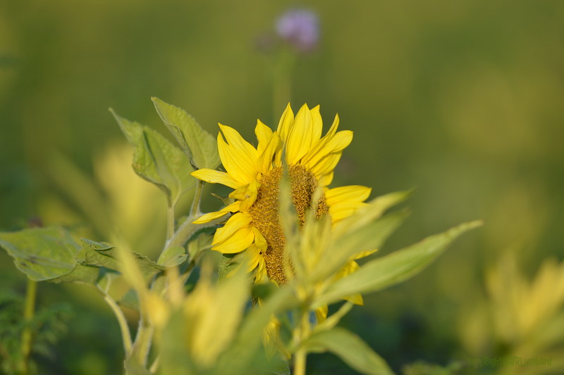 Sunflower_Apple_01112016 (123)