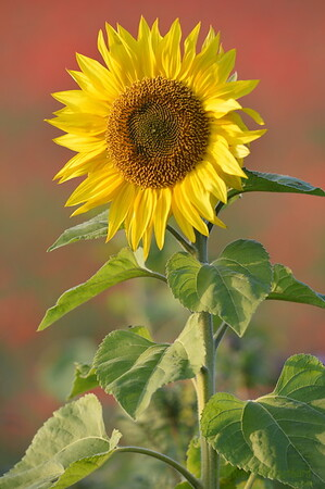 Sunflower_Apple_01112016 (45)