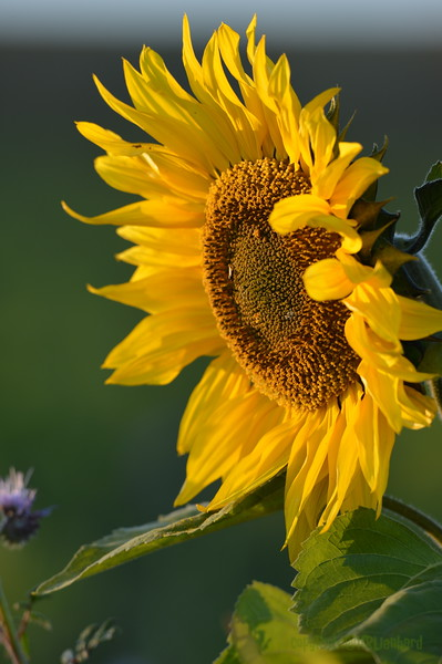 Sunflower_Apple_30102016 (37)