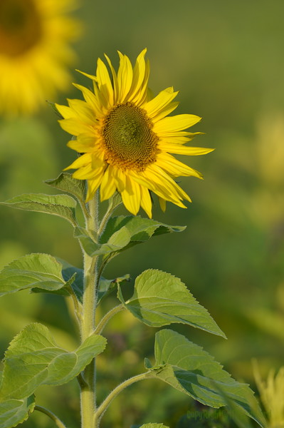 Sunflower_Apple_01112016 (117)