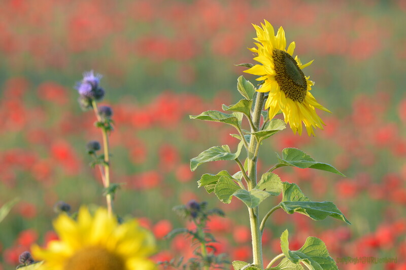 Sunflower_Apple_01112016 (41)