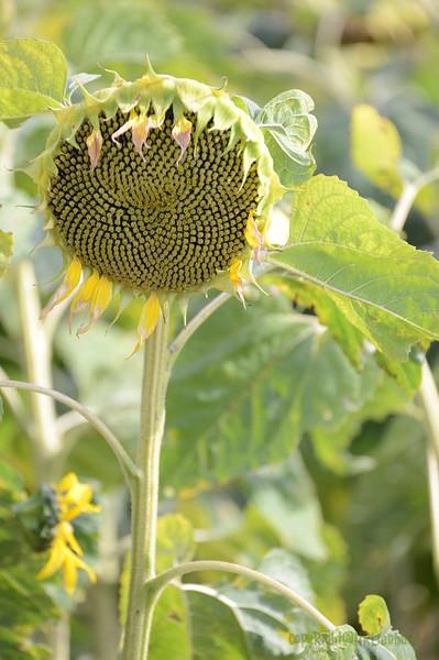 Sun_Flower_Echichens_01092013_0307
