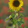 Sunflower_Apple_01112016 (20)