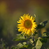 Sunflower_Apple_30102016 (68)