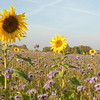 Tournesol_Facilea_Champs_Denens_Oct-2008_0016