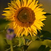 Sunflower_Apple_30102016 (57)