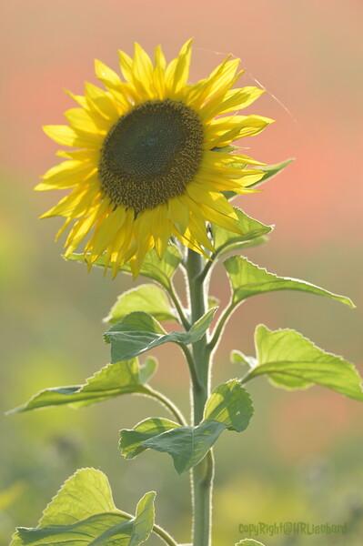 Sunflower_Apple_01112016 (109)