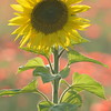 Sunflower_Apple_01112016 (82)
