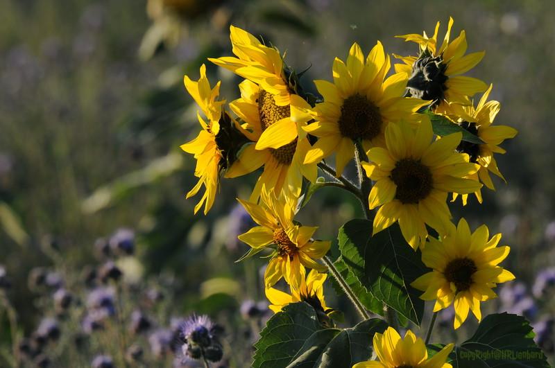 SunflowerFiled_Echichens_0009