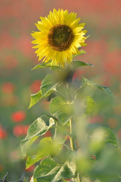 Sunflower_Apple_01112016 (52)