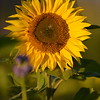 Sunflower_Apple_30102016 (60)