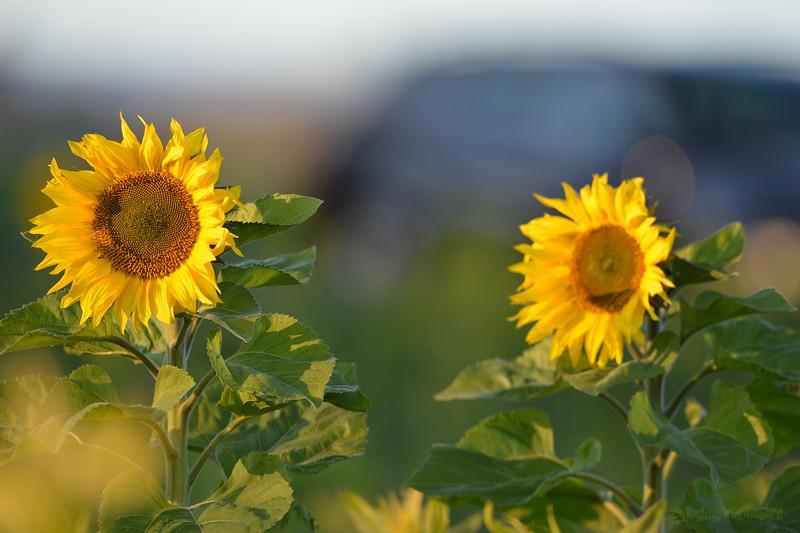 Sunflower_Apple_30102016 (15)