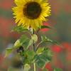 Sunflower_Apple_01112016 (27)