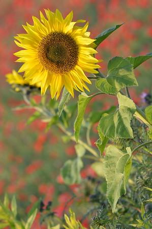 Sunflower_Apple_01112016 (36)
