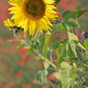 Sunflower_Apple_01112016 (36)