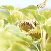 Sun_Flower_Echichens_01092013_0324
