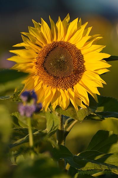 Sunflower_Apple_30102016 (48)