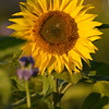 Sunflower_Apple_30102016 (48)