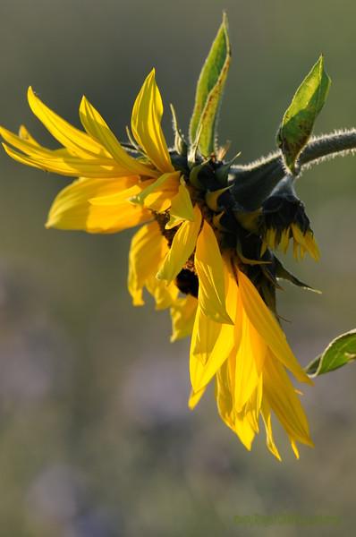 SunflowerFiled_Echichens_0024