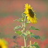Sunflower_Apple_01112016 (42)