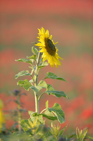 Sunflower_Apple_01112016 (56)