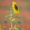 Sunflower_Apple_01112016 (56)