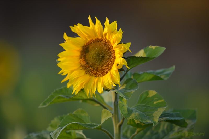 Sunflower_Apple_30102016 (11)
