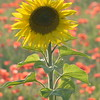 Sunflower_Apple_01112016 (98)