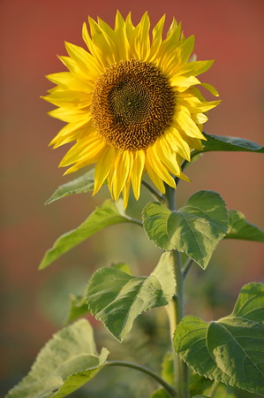 Sunflower_Apple_01112016 (60)