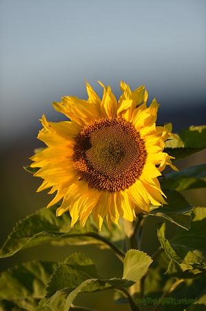 Sunflower_Apple_30102016 (28)